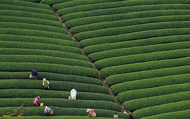 مزرعه چای هانگزو