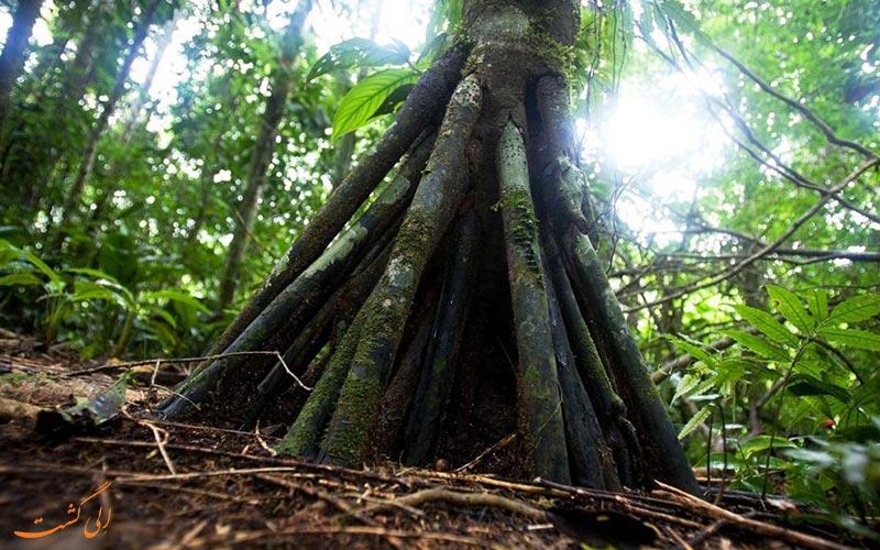 درختی که راه می رود