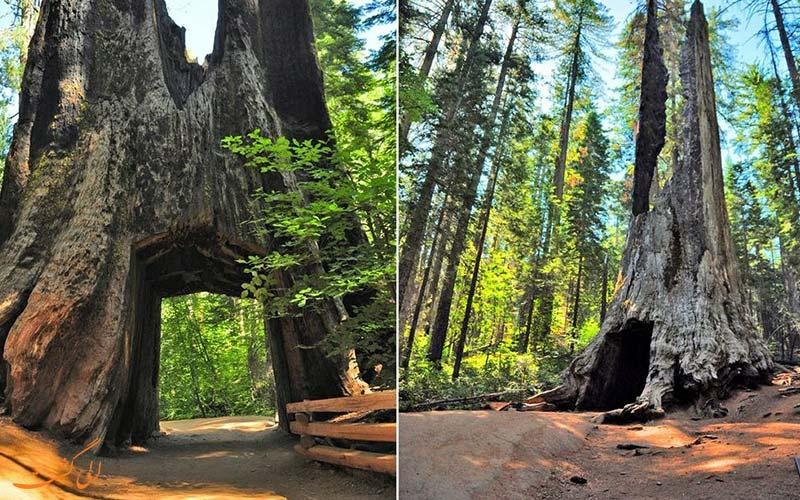 درخت سرخ چوب کالیفرنیا