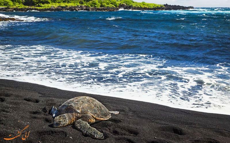 لاکپشتی در ساحل سیاه هاوایی