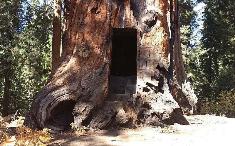 درخت هرکول