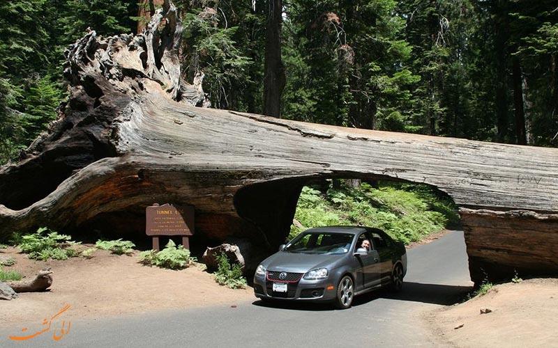 درخت سرخ چوب کالیفرنیا به نام تونل لاگ