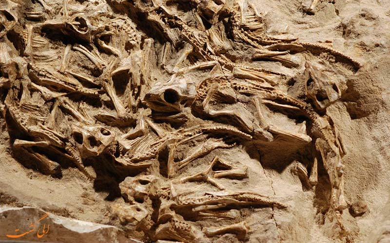 لانه ای با 15 کودک دایناسور (2011) مغولستان