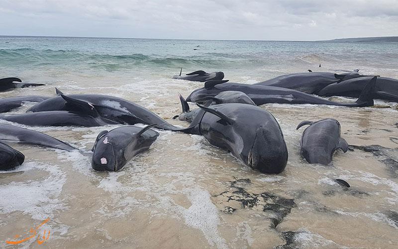 تاریخ شروع واقعه خودکشی پستانداران دریایی- خودکشی نهنگ ها