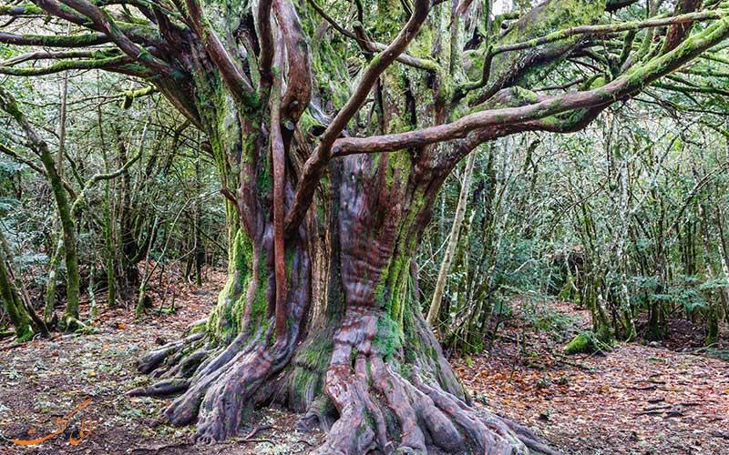 جنگل های سرخدار