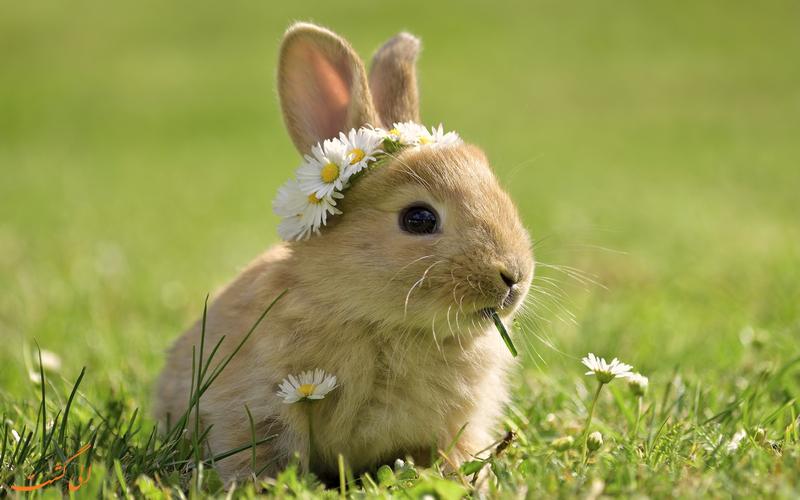 خرگوش های خانگی