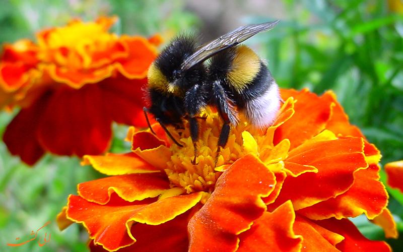 زنبورها جذب چه گل هایی می شوند؟