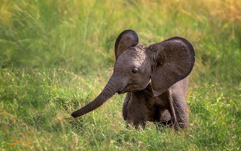 بچه فیل