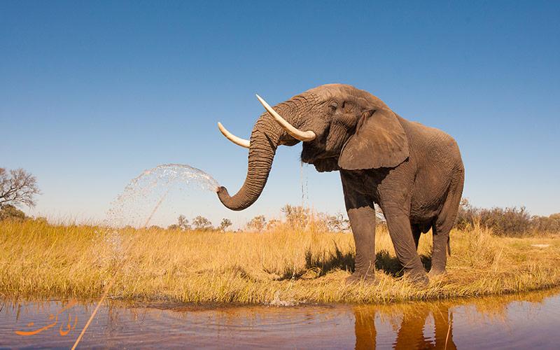 یک فیل