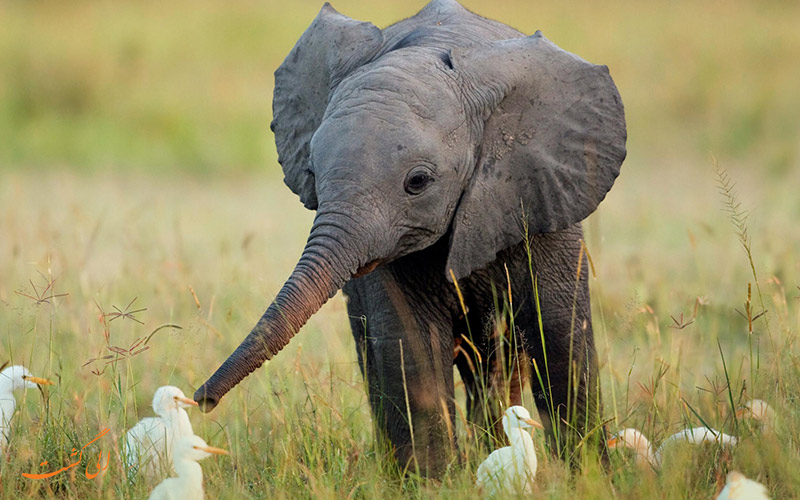 فیل کودک