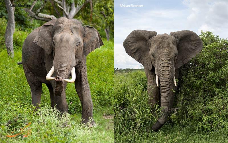 فرق فیل آفریقایی و فیل آسیایی