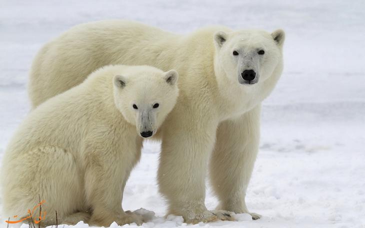 بهترین مکان برای تماشای خرس قطبی