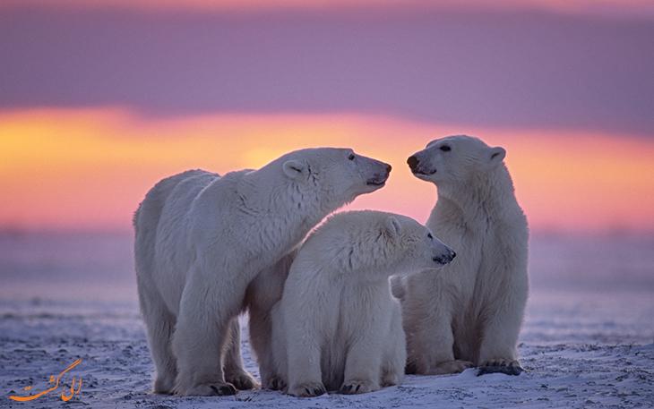 تماشای خرس های قطبی