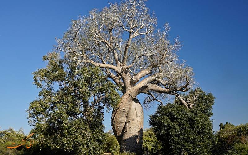 درخت های بائوباب