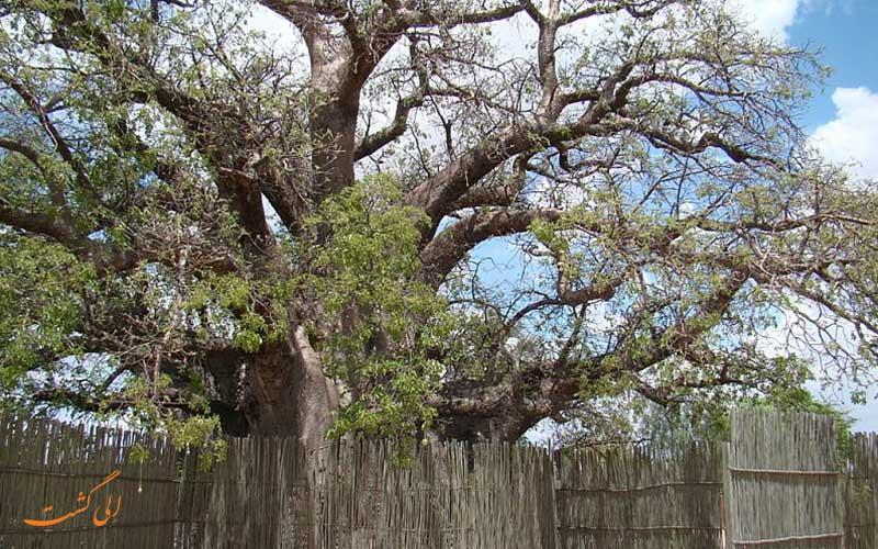 درخت بائوباب Ombalantu