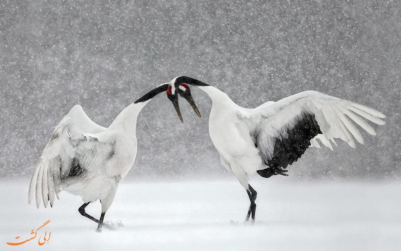 پرندگان مخصوص ژاپن