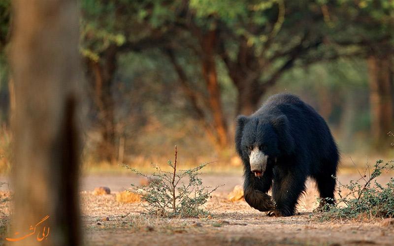 حیوانات حیات وحش- خرس تنبل هند