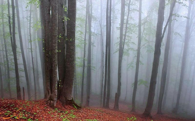 جنگل راش در سوادکوه مازندران