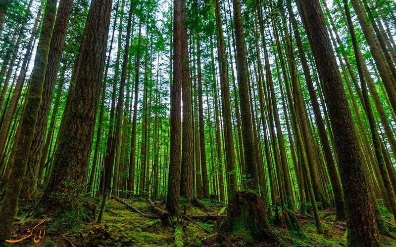 جنگل راش سوادکوه در مازندران
