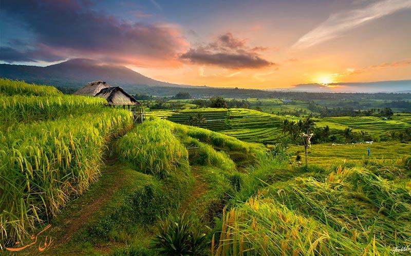 تماشای مزارع برنج