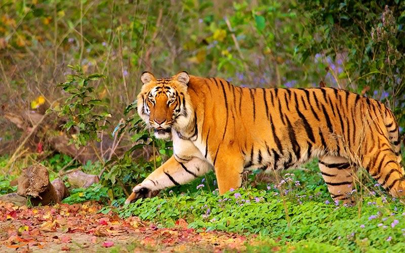 پارک ملی جیم کاربوت هند-ببرها