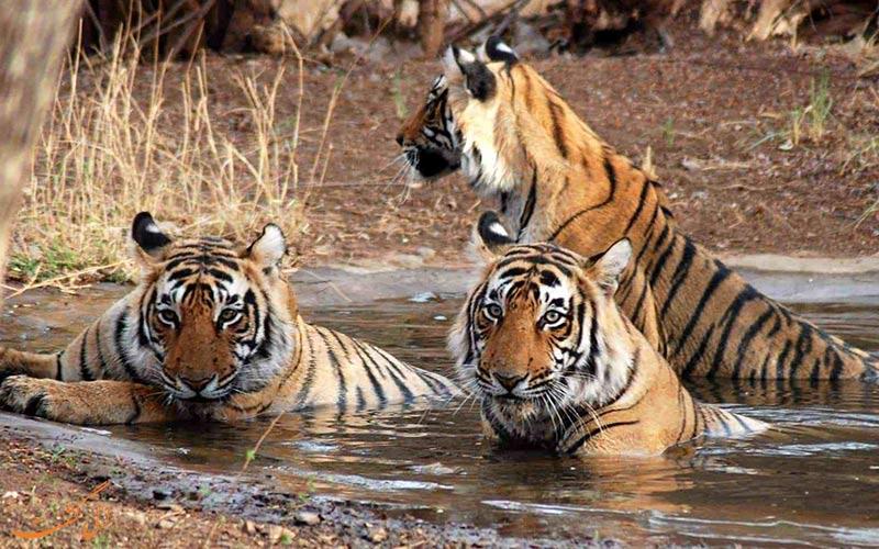 پارک ملی جیم کاربوت هند  و ببر