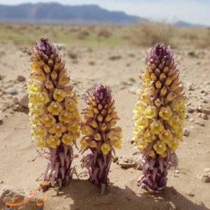 گیاهان بیابانی ایران-الی گشت