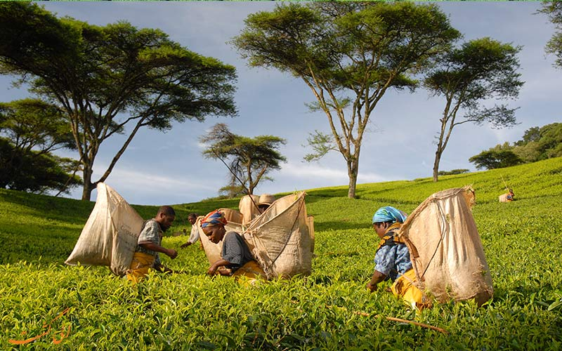 اندونزی-مزارع چای