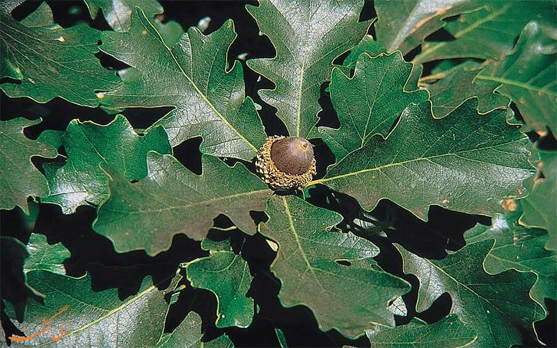 درخت بلوط اوری