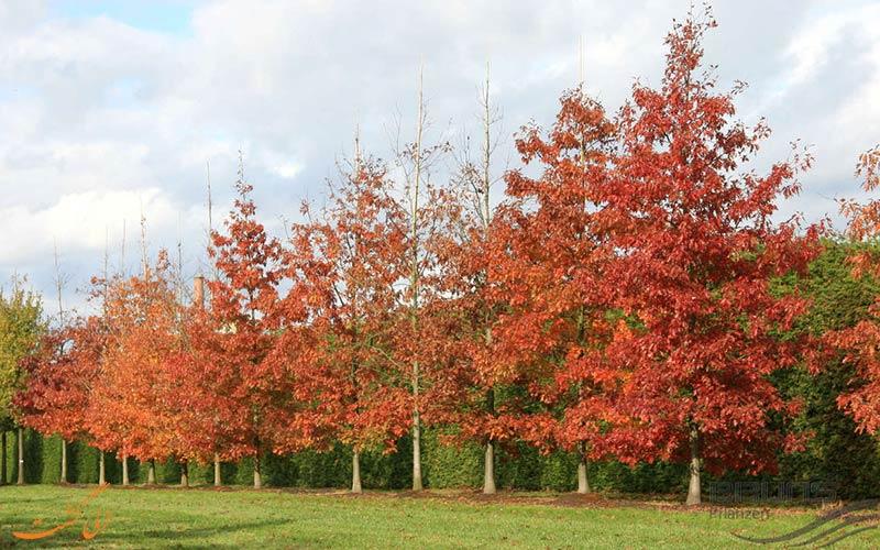بلوط-قرمز-شمالی-درخت بلوط آمریکا
