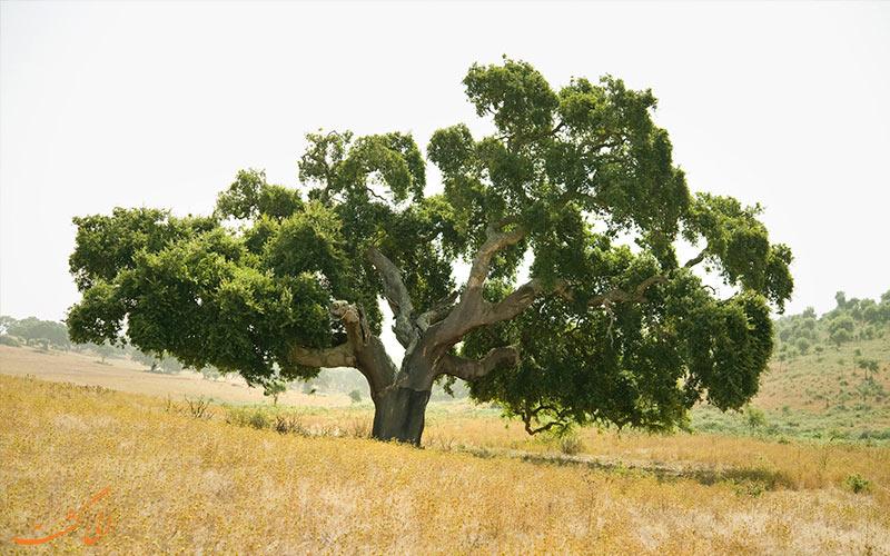 درخت بلوط چوبپنبهای