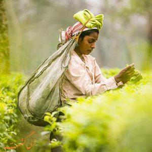 بهترین مزارع چای جهان-الی گشت