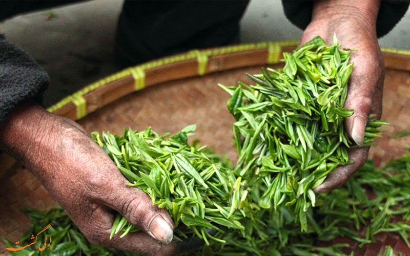 بهترین مزارع چای جهان برای سفر