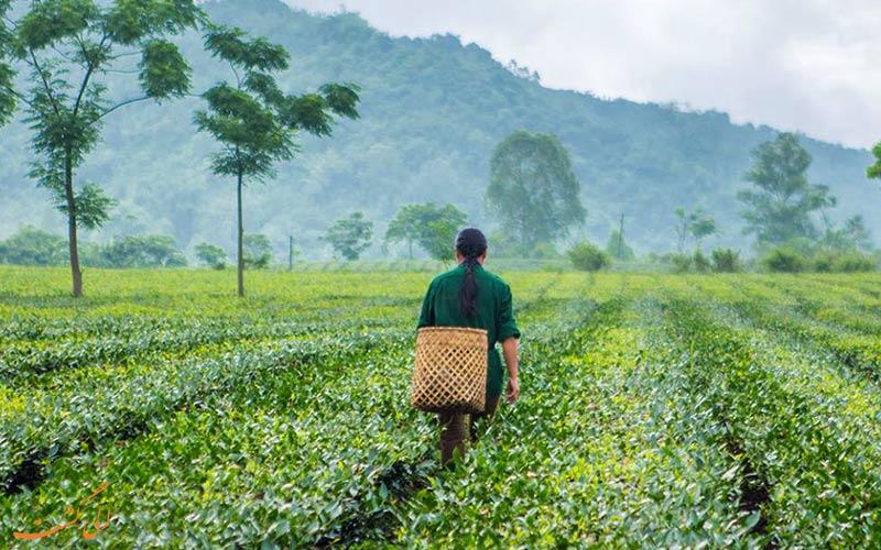تولید چای در ویتنام