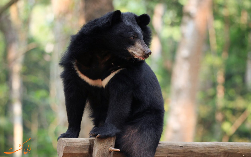 خرس سیاه آسیایی در باغ وحش