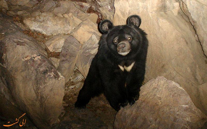 زیستگاه خرس سیاه آسیایی