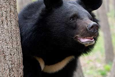 خرس سیاه آسیایی-الی گشت