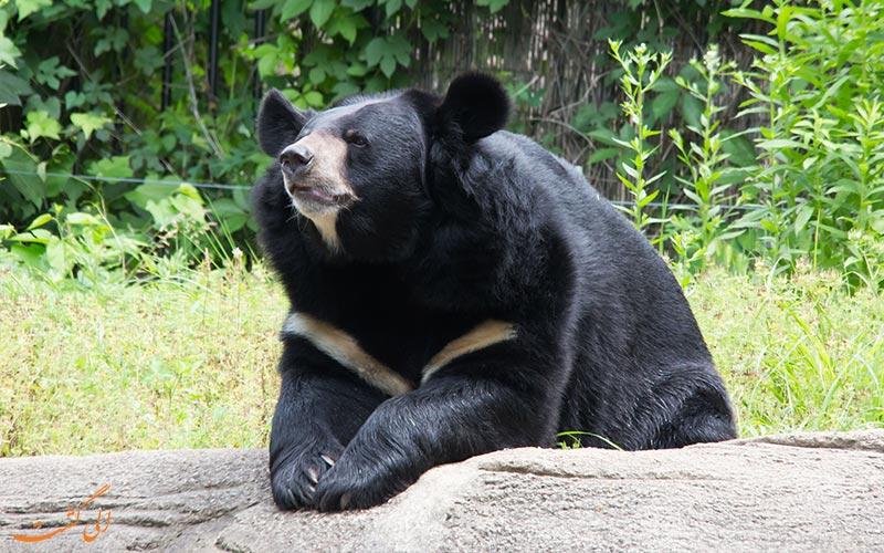 خرس سیاه آسیایی