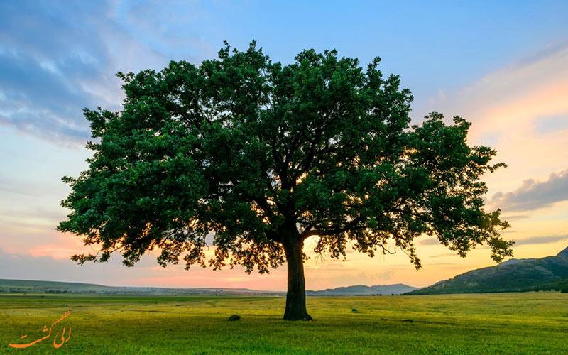 انواع درخت بلوط