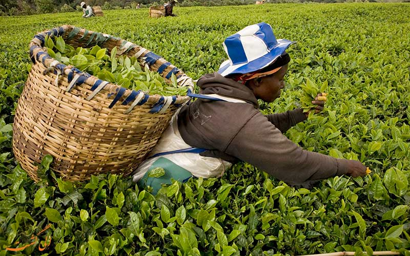 گیاه چای در کنیا