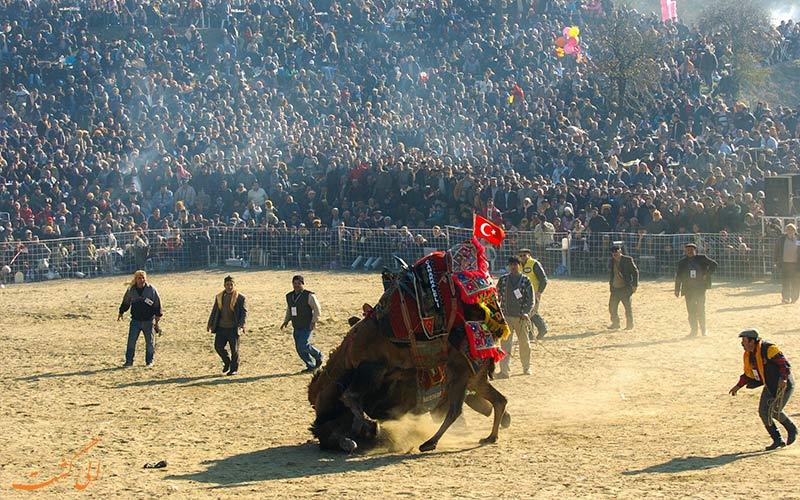 میدان مسابقه کشتی شترها در ترکیه و تماشاگران