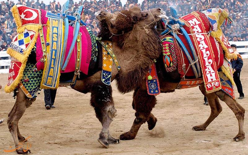 مسابقه کشتی شترها در ترکیه