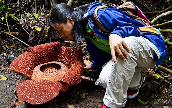 گیاه انگلی مردار در مالزی
