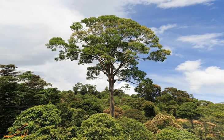 تولانگ بلندترین درخت استوایی در مالزی