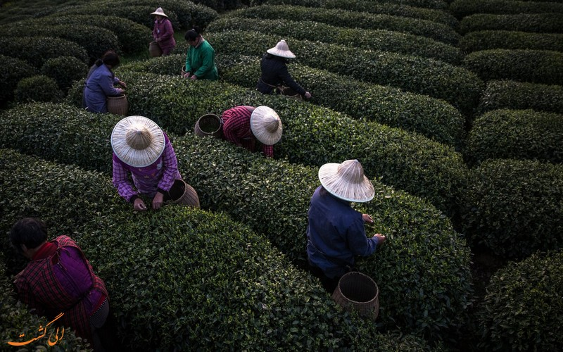 مزارع چای چین