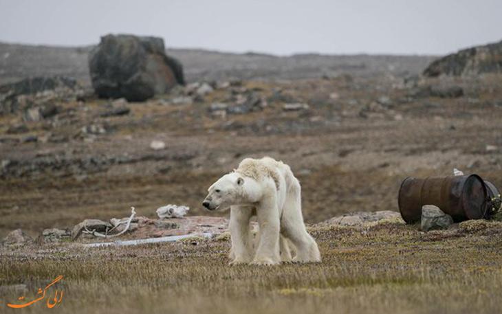 عکس تلاش یک خرس قطبی