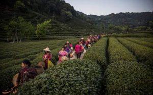 تصاویری از مزارع چای در چین