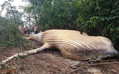 کشف نهنگ 10 تنی در جنگل های آمازون