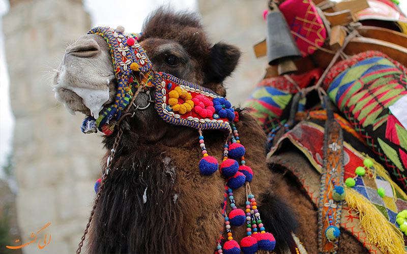 شترهایی برای مسابقه کشتی شترها در ترکیه