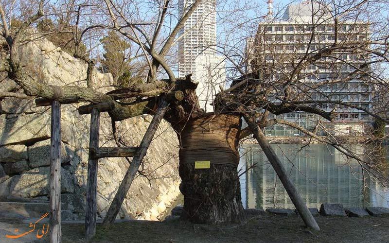 بازماندگان بمب اتمی هیروشیما-درختی بمبی